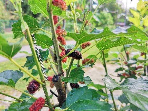 Cara Lebatkan Buah Mulberry dengan Mudah, Memang Berkesan