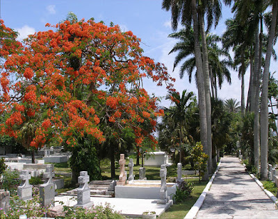 Poinciana trees in graveyard.