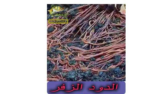 طريقة صيد سمك البياض النيلى ومعلومات عنه | بياض نيلي