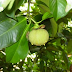 Benefits of Mangosteen Leaf for Health