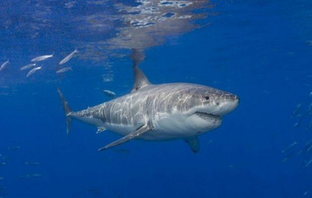 Στο DNA του λευκού καρχαρία ανακάλυψαν το μυστικό κατά του καρκίνου