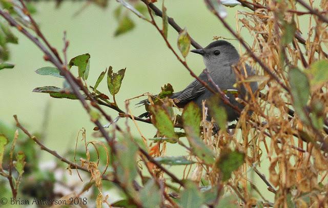 Grey Catbird at Lands End