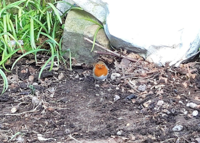 Image shows a robin searching for grubs on newly-moved earth