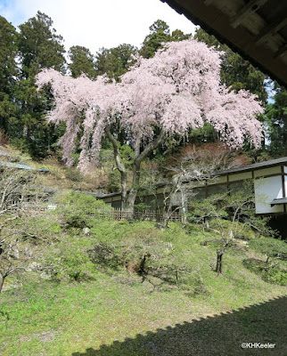 weeping cherry, Japan