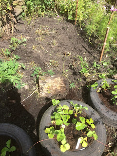 Planting strawberries in old tyres.