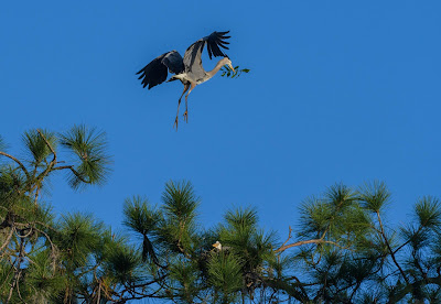 Male great blue heron arrives with a twig for the nest