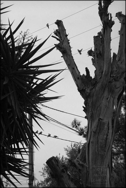 fotografia,tortolas,cables,naturaleza,arbol,plantas,murcia