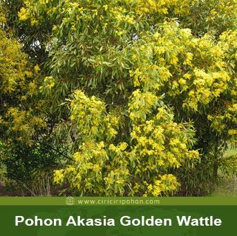 ciri ciri pohon akasia golden wattle