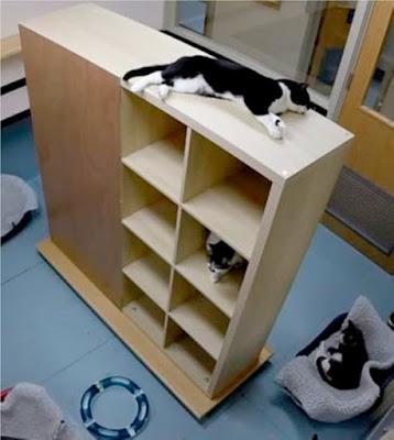 Cats using the vertical shelves as enrichment