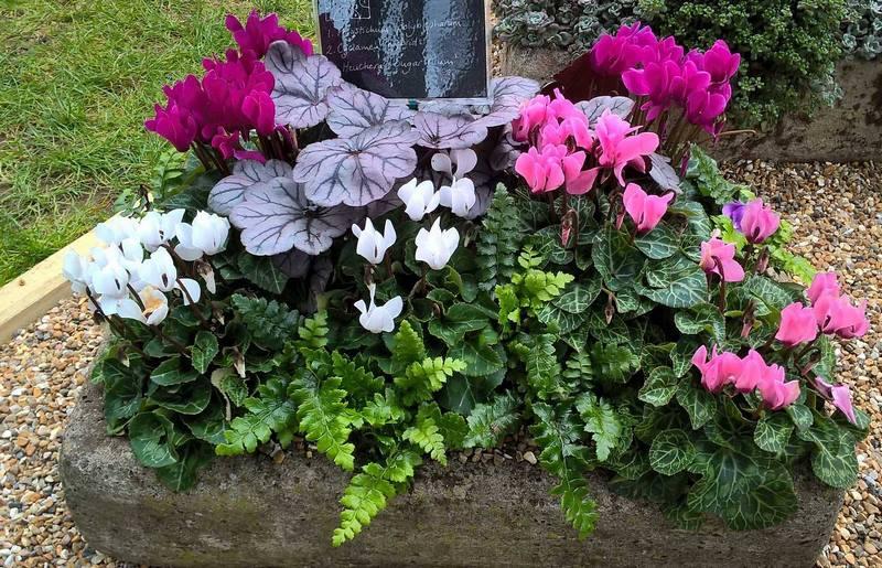 Cyclamen hederifolium (hibridos), helechos, heucheras y hebes en RHS Wisley Flower Show