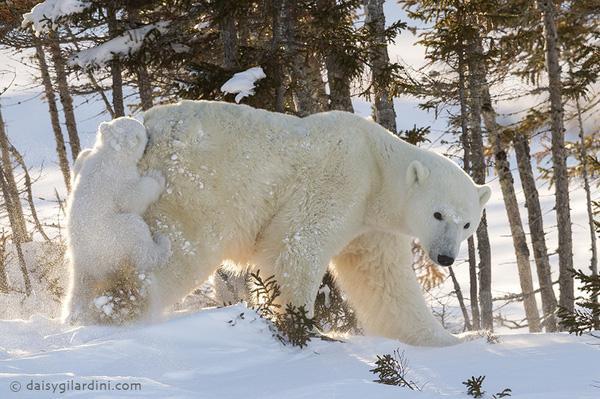 """Gấu con đại lãn nhất quyết bám mông """"mẫu hậu"""" không chịu đi"""