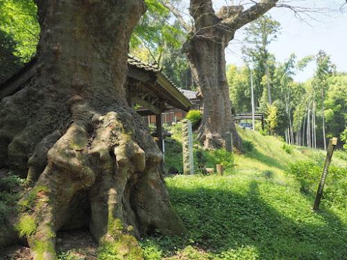仏生寺の大けやき