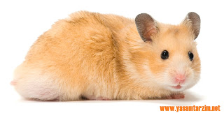 Hamsterler'in Özellikleri
