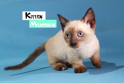 Kitten Munchkin