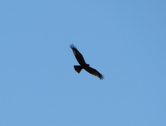 Marsh Harrier - Portugal