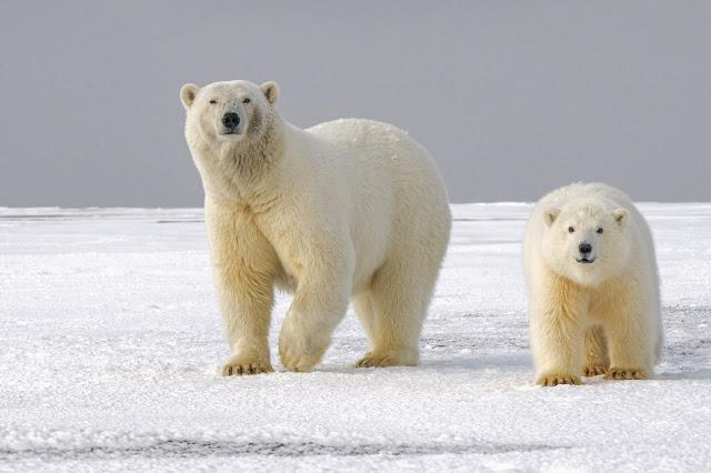 kakve su boje polarni medvjedi?