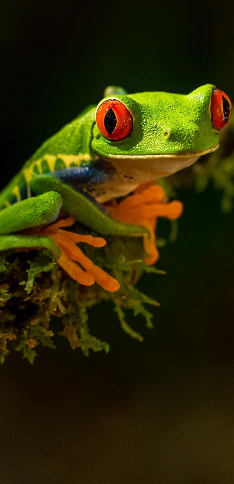 A tree frog's amazing red eyes.