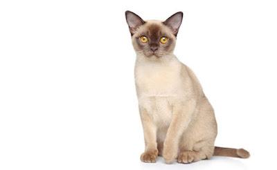 Kucing Burmese atau Burma