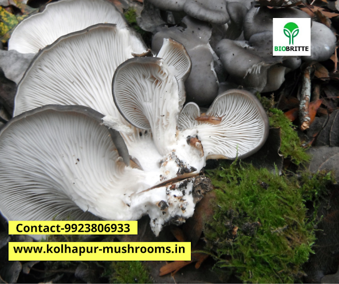 Oyster mushroom 1kg price | Mushroom spawn | Mushroom spawn supply