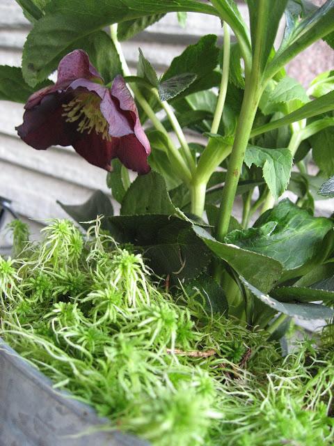 Inspirasjon til høstkrukker - del 1 Vakker julerose med mose rundt. Furulunden