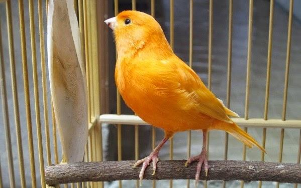 Tips, Kiat, dan Panduan Berternak Burung Kenari