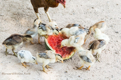 Chicken and chicks eating a watermelon