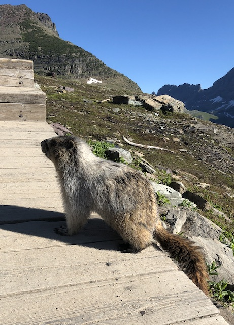 Marmot near Logan Pass Visitor Center on the way to Hidden Lake Overlook
