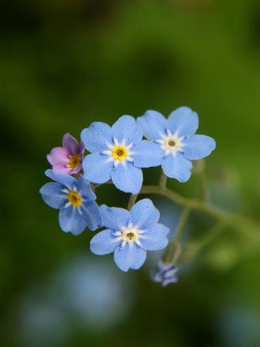 Un beau myosotis bleu