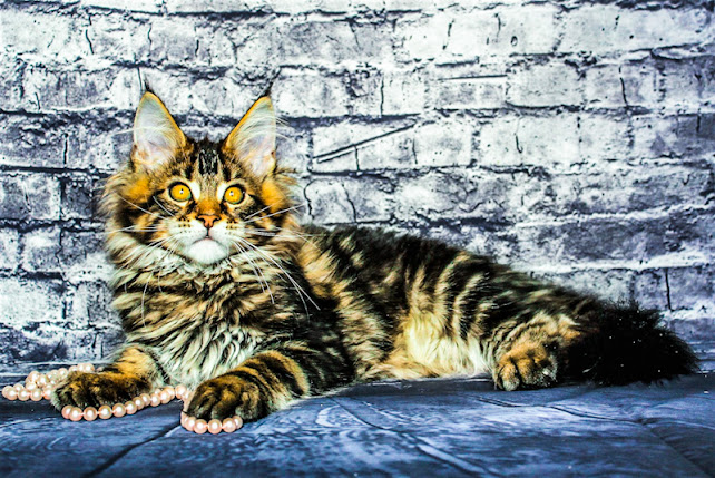 Maine Coon youngster in jazzed up colour photo