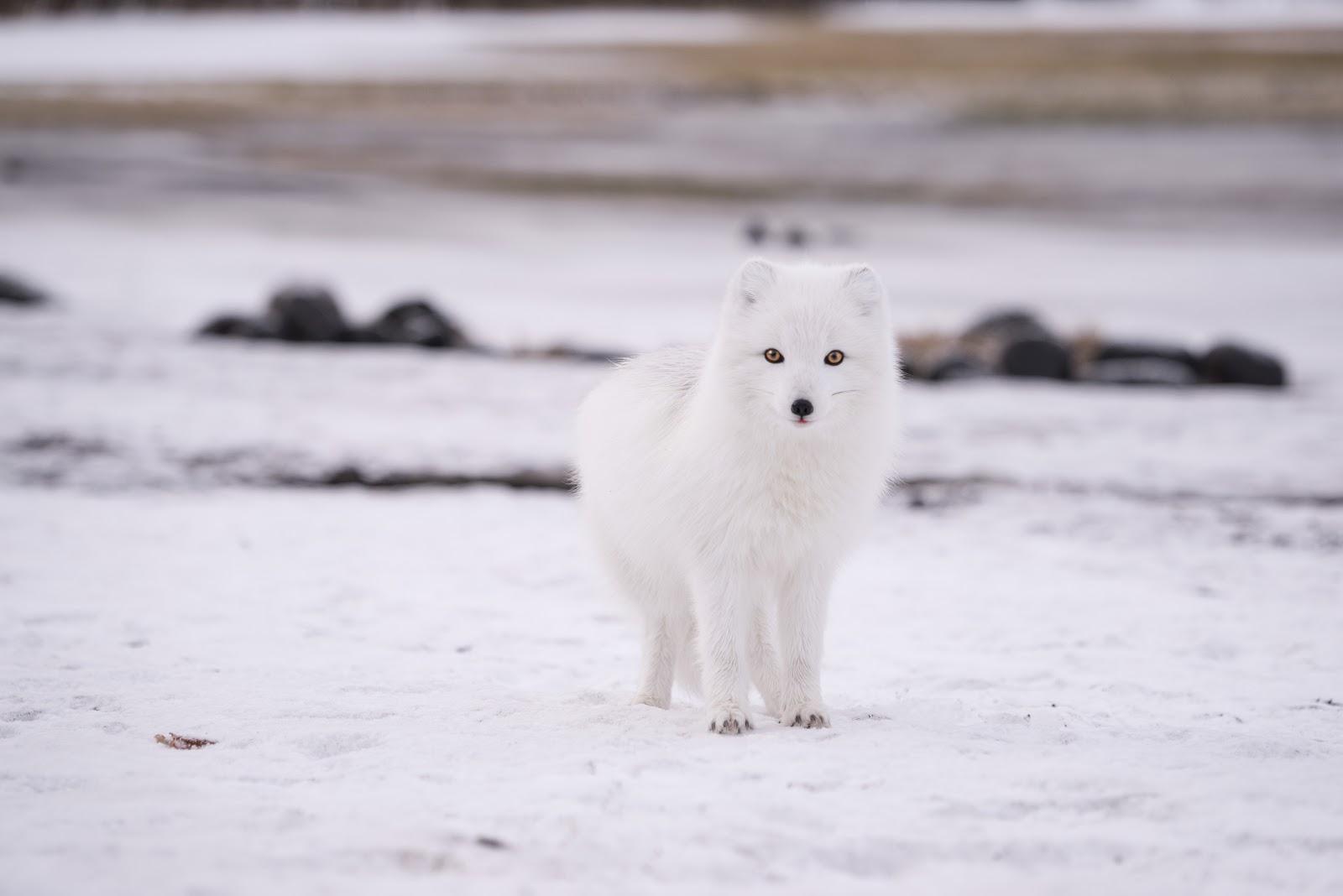 立ち止まった北極狐が少しだけ舌を出している