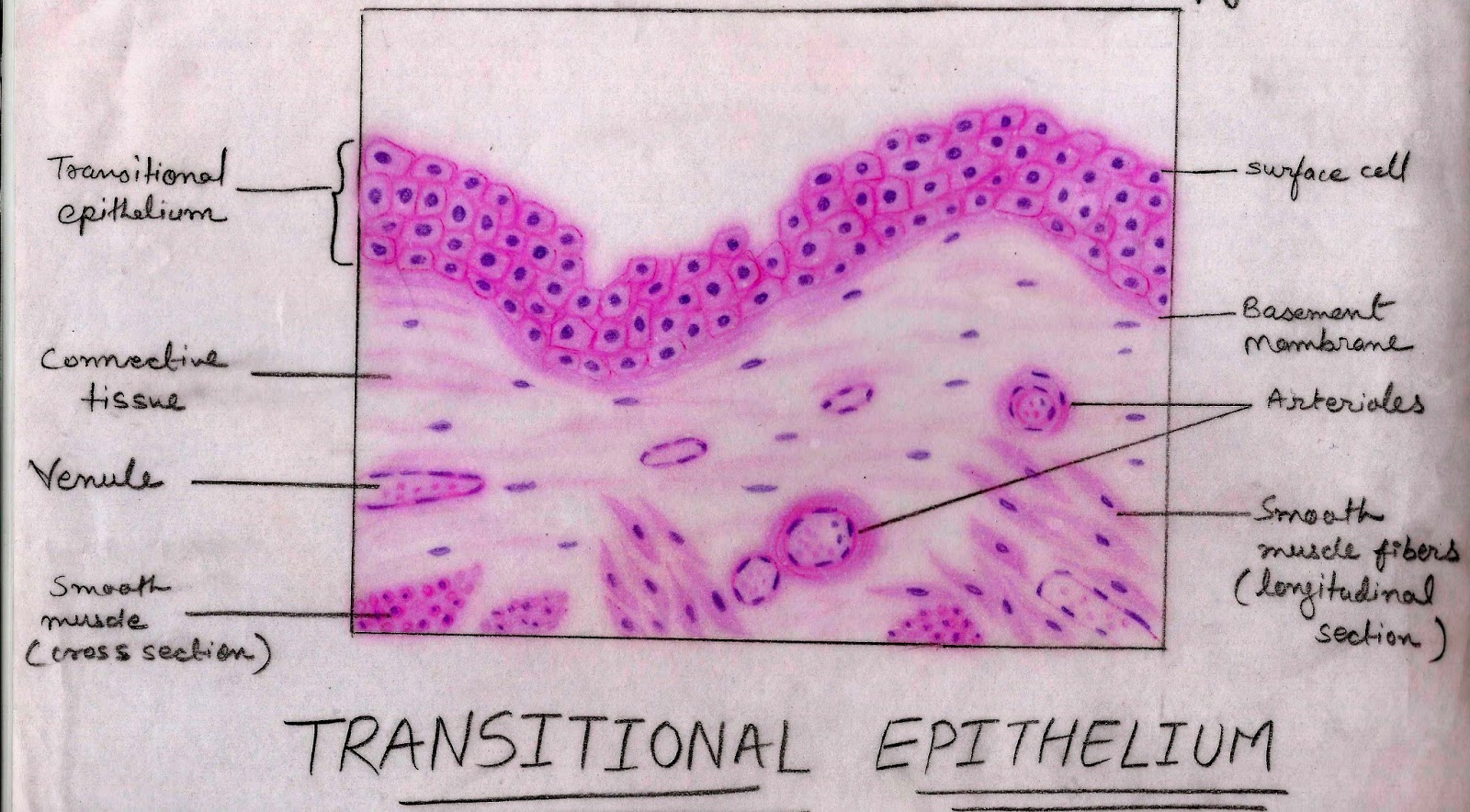 Histology Image: Membranous epithelium