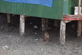 A monkey at Sundarbans Harbaria