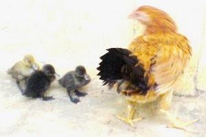 bebek,ayam,piaraan