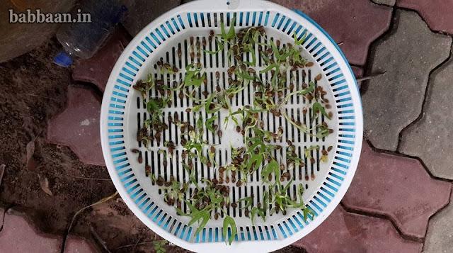 ปลูกผักบุ้งจีนวันที่ 8