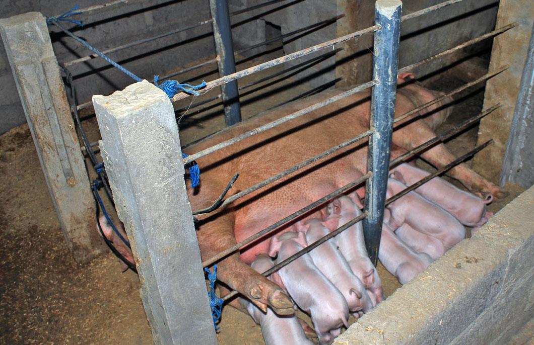 Peternakan Rezeki Kubun Babi: KANDANG BABI