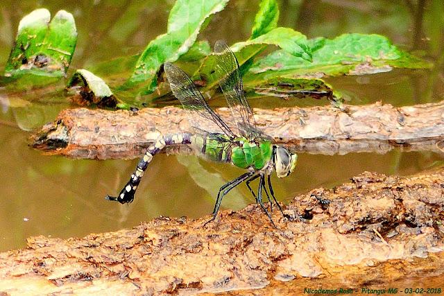 Libélula é o predador natural do Aedes aegypti