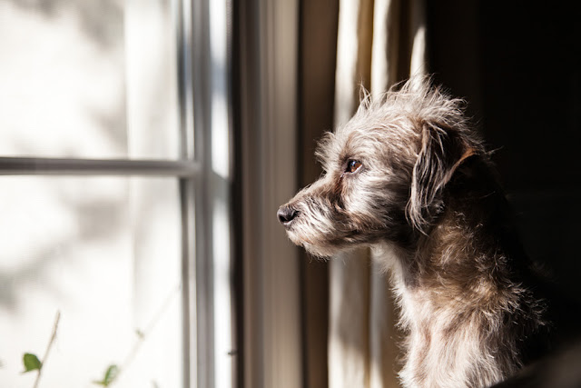 Cute little crossbreed terrier looking out of the window
