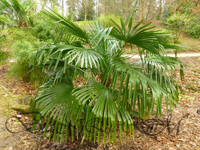Botaniquarium - Trachycarpus fortunei young plant