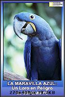 La maravilla azul: un loro en peligro