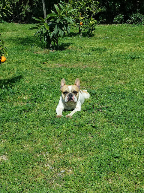 criadero-otterstein-bulldog-frances-viña-del-mar