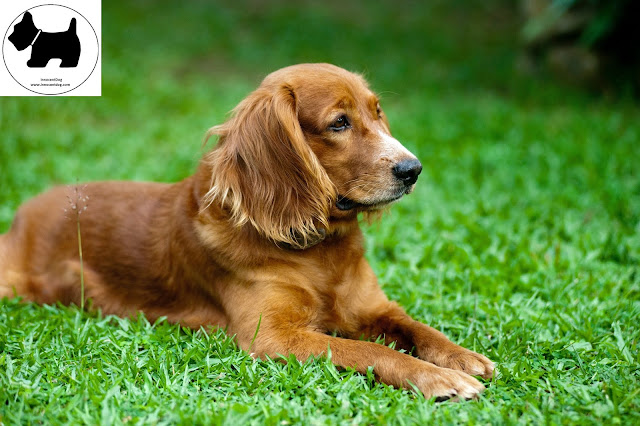Golden Retriever dog, dog information, Dog facts, Best dog Breeds