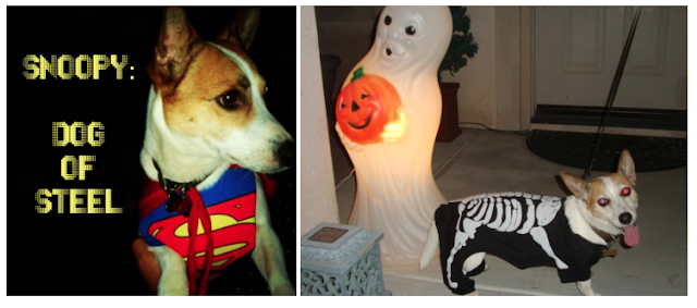 Jack Russell Terrier - Dog in Halloween Costume