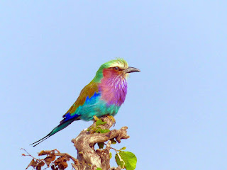 लीलक पक्षी। Lilac breasted roller bird. Hindi information.