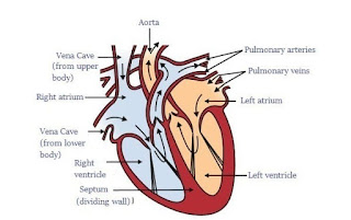 Human heart and how to keep it healthy?