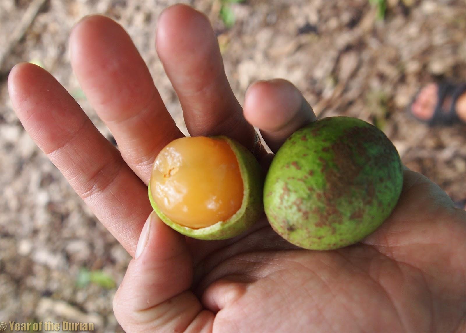 durian fruit in spanish devil fruits