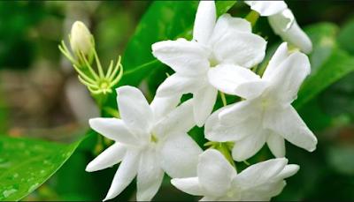 Tanaman Hias Bunga Melati (Jasminum polyanthum)