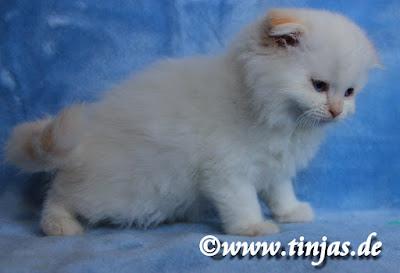 Highland Fold Katzenbaby aus der Tinjas Katzenzucht in red silver tabby point 2017 05 20 102
