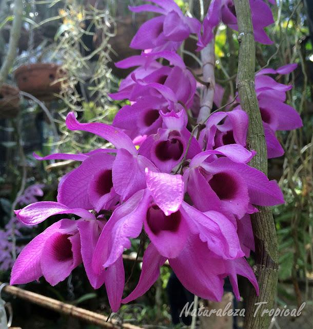 Flor de una orquídea Dendrobium sp