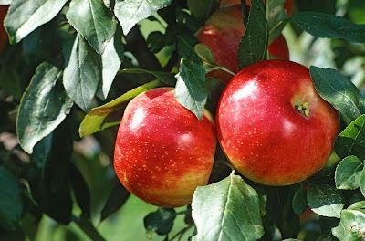 Minnesotan Apples