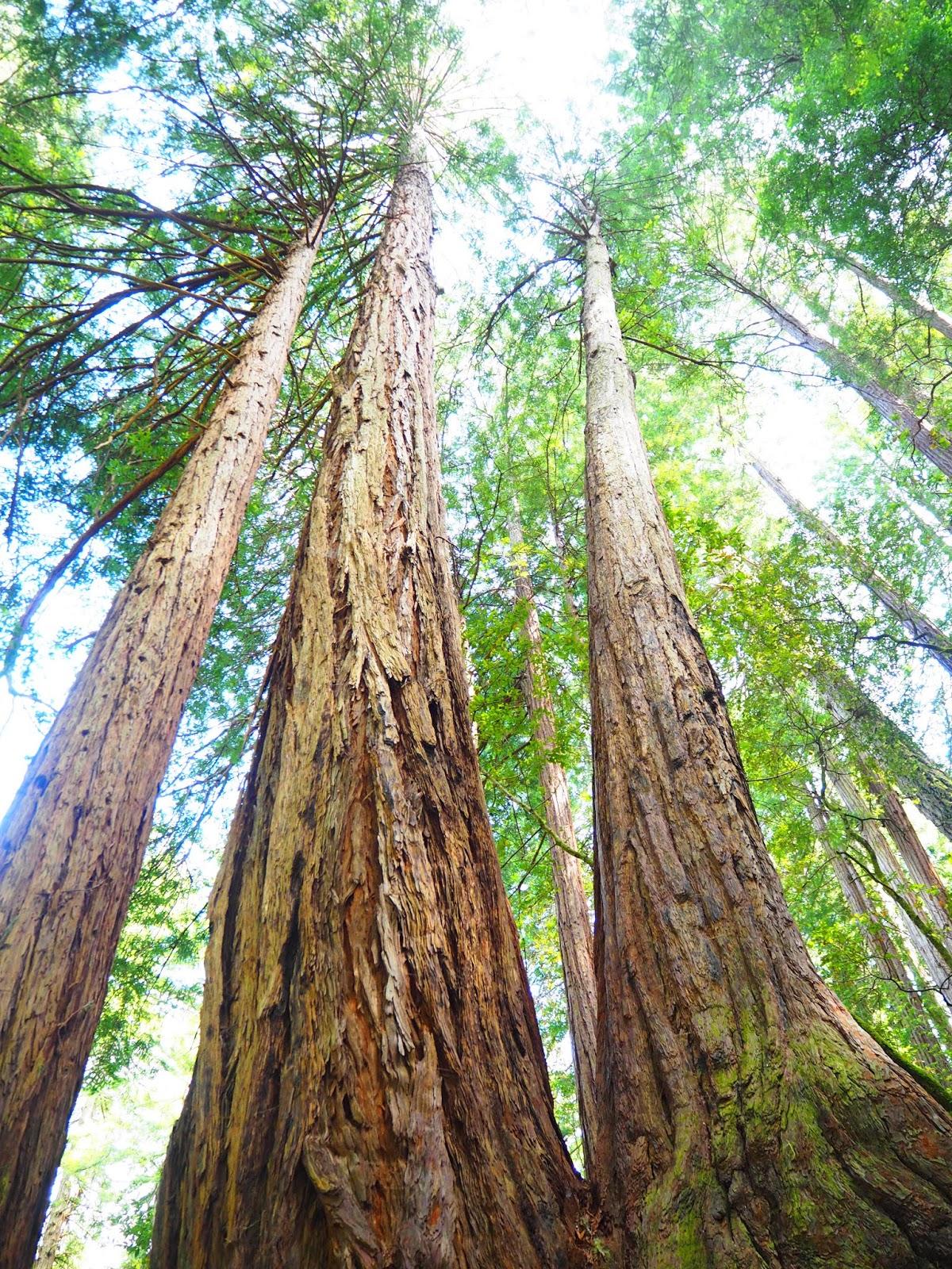 Visiting Muir Woods, San Francisco
